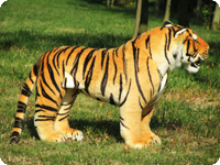 Simulation Tiger